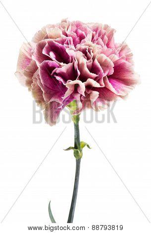Single Fresh Pink Carnation