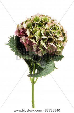 Fresh Green Hydrangea Flower
