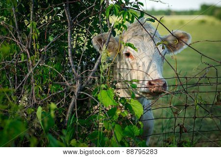 White Cow Peeking From Behind Tree