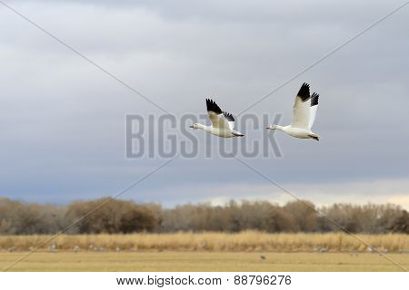 Pair of Snow Geese Taking Flight