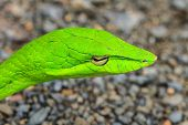 pic of jungle snake  - Oriental Whipsnake or Asian Vine Snake  - JPG