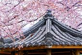 pic of weeping  - Weeping sakura infront of japanese temple at day - JPG