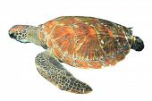 image of green turtle  - Green Sea Turtle isolated on white background - JPG