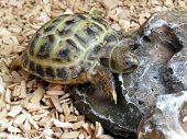 pic of tortoise  - Baby tortoise walking on his tortoise table - JPG