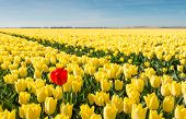 stock photo of daring  - Striking red flowering tulip differs greatly from the many yellow blooming tulips in the large field of a Dutch bulb grower - JPG