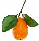 stock photo of sweetie  - one kumquat citrus fruit with leaf close up isolated on white background - JPG