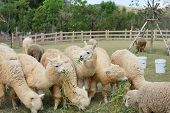 picture of alpaca  - group of lovely alpaca in the farm - JPG