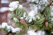 picture of pine-needle  - closeup of pine tree branch with long green needles and small beautiful cone - JPG