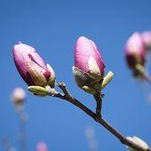 foto of magnolia  - Spring - JPG