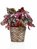 picture of begonias  - Begonia plant in pot on white background - JPG
