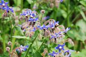 picture of borage  - The beautful flowers of the herb borage - JPG