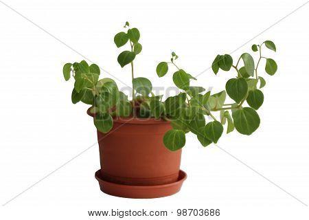 Peperomia obtusifolia. House plant on the flowerpot.