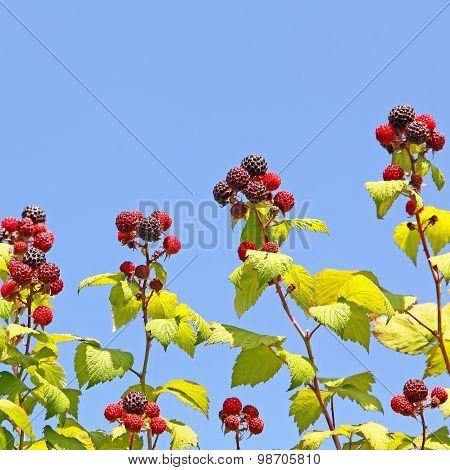 Ripe Raspberry Against Of Blue Sky.