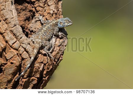 An Agama Lizard Resting On The Bole Of An Avocado Tree