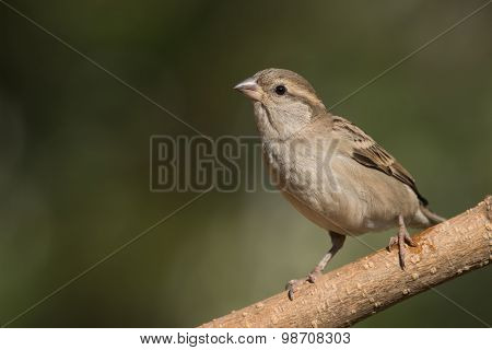 Female House Sparrow (passer Domesticus) Standing On A Perch