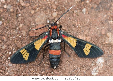 Hornet Moth (euchromia Sp.) From Malawi Top View