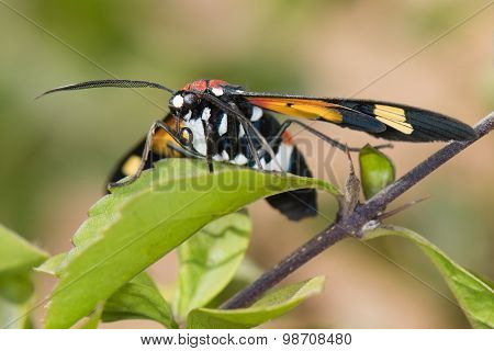 Hornet Moth (euchromia Sp.) Resting On A Leaf