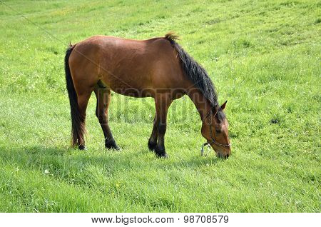 Grazing Brown Horse On Green Field