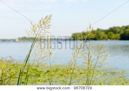 Gramineae Herbs Close To The River