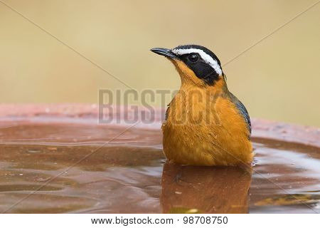 White-browed Robin-chat (cossypha Heuglini) Sitting In A Bird Bath