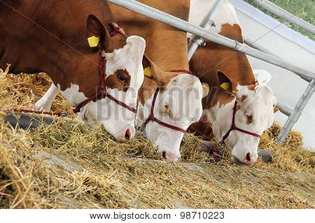 Three cows eating hay