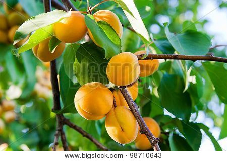 Ripe Apricots Growing On The Apricot Tree