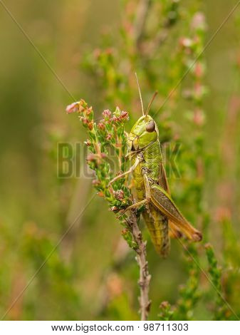 Vertical Of Green Grasshopper On Heather In Bloom