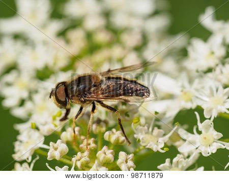 Closeup Of Fly On Wild Flowers