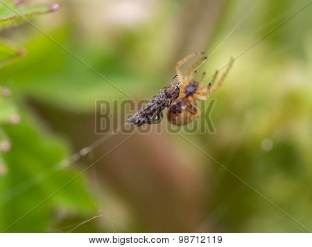 Fly As Prey With Spider Looming