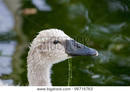 The Portrait Of The Cute Young Swan