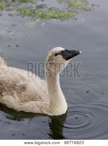 The Close-up Of The Young Swan Drinking The Water