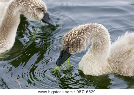 Two Young Swans Are Eating
