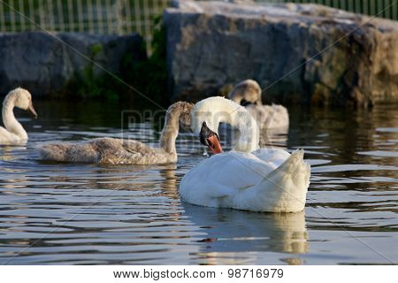The Young Family Of The Swans