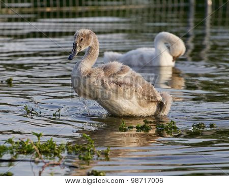 The Young Swans Near The Shore