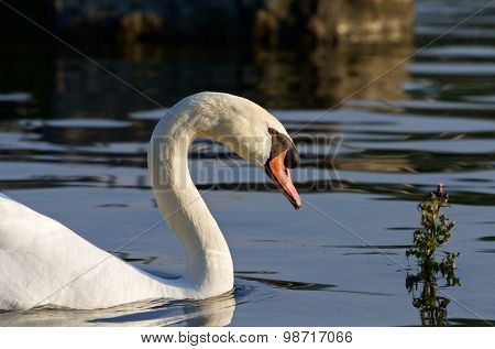 Beautiful Close-up Of The Swan On The Sunny Evening