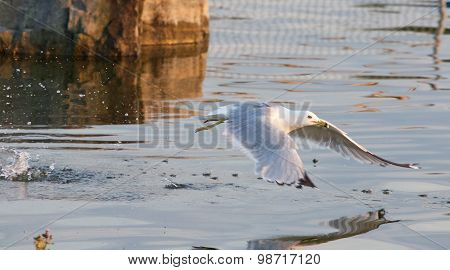 The Gull's Take Off From The Water