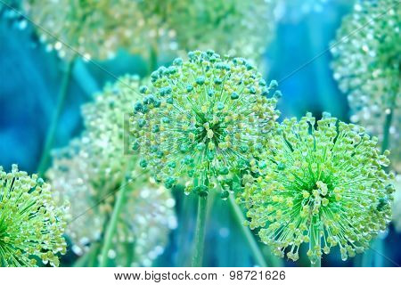 Flowers Of Onion With Water Drops In Garden