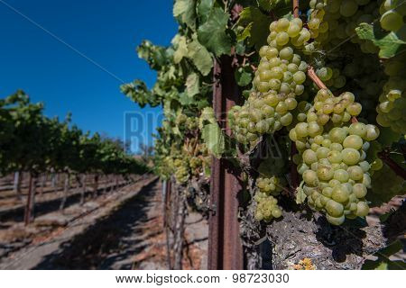 Rows Of Wine Grapes On The Vine