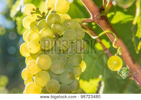 Closeup Of Wine Grapes Growing On The Vine