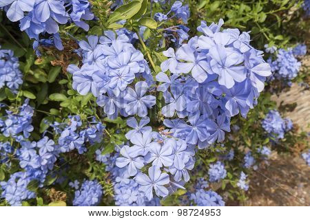 Blue Flowers Plumbago Auriculata, Cape Leadwort, Blue Jasmine