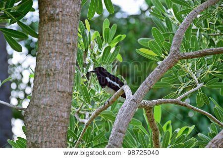 Orientel Magpie-robin