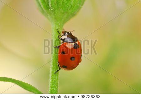 Ladybug on leaf, closeup