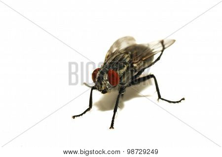 Focusing on the head of a fly on a white background. Selective focus