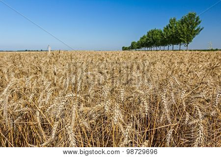 Field With Mature Wheat.