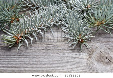 Branch of white spruce