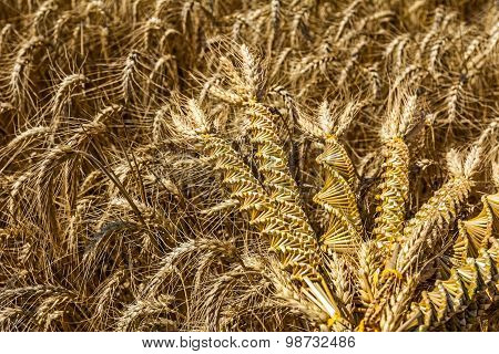 Wheat Weaving, Twisted Grain Like A Dna Array.
