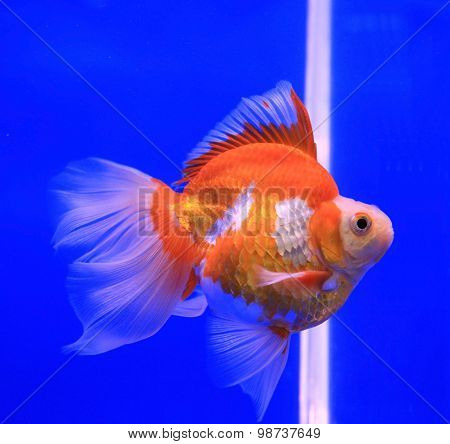 Goldfish In Clear Water