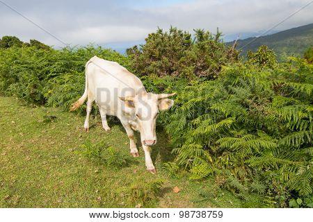 Cattle In The Plateau Paul Da Serra, Madeira