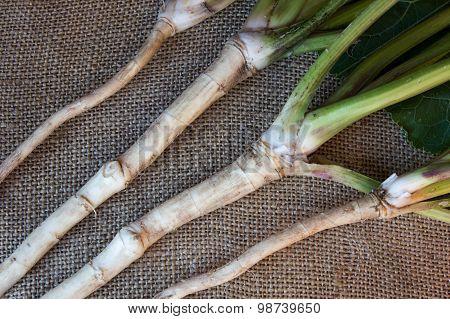 Fresh, Peeled, Raw Horseradish Root, On Sacking