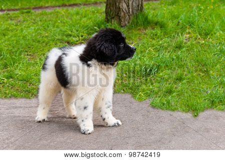 Karakachan puppy .